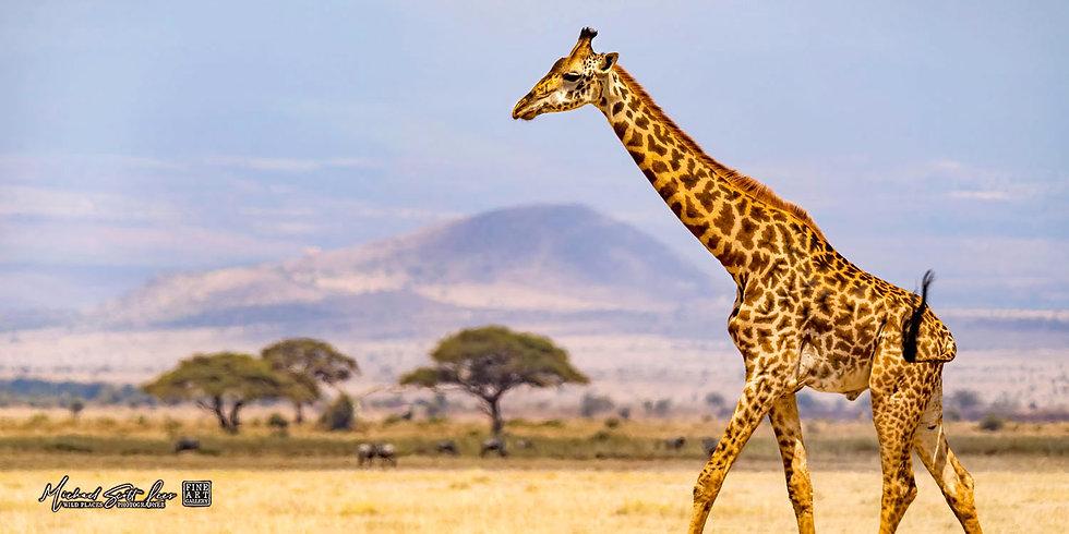 Giraffe crossing the plains in Amboseli National Park, Kenya, Africa, Michael Scott Lees fine art photographic prints