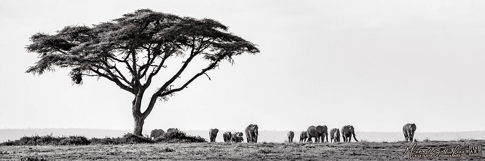 Elephants and acacia tree in Amboseli National Park, Michael Scott Lees fine art photographic prints for sale