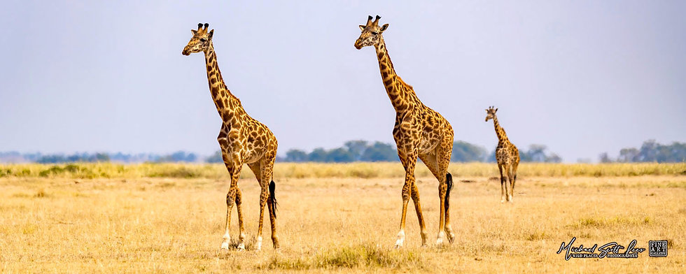 Giraffe's crossing the plains in Amboseli National Park, Kenya, Africa, Michael Scott Lees fine art photographic prints
