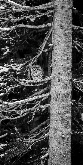 Barred Owl in Mount Rainier National Park, Washington State, America. Michael Scott Lees fine art photographic prints