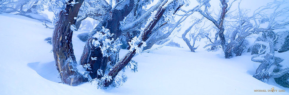 Iced covered Snowgums in the Snow in Kosciuszko National Park, Australia. Fine Art Photography Prints for Sale