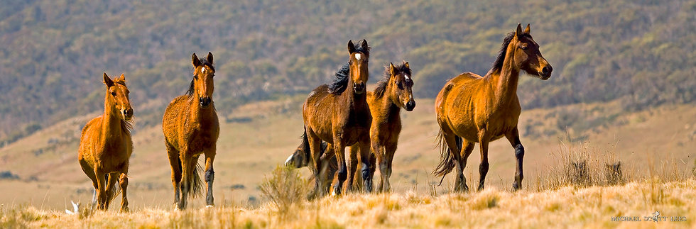Brumbies in the Kosciuszko National Park, Australia. Fine Art Photography Prints for Sale by Michael Scott Lees photographer.