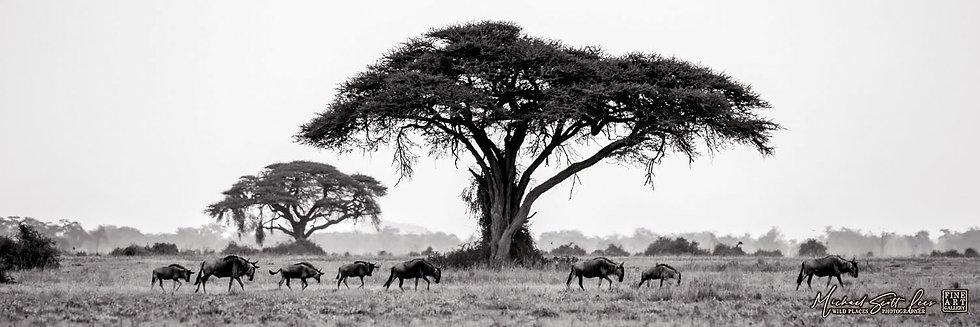 Wildebeests walking past a giant acacia tree in Amboseli National Park, Kenya, Africa, Michael Scott Lees fine art prints