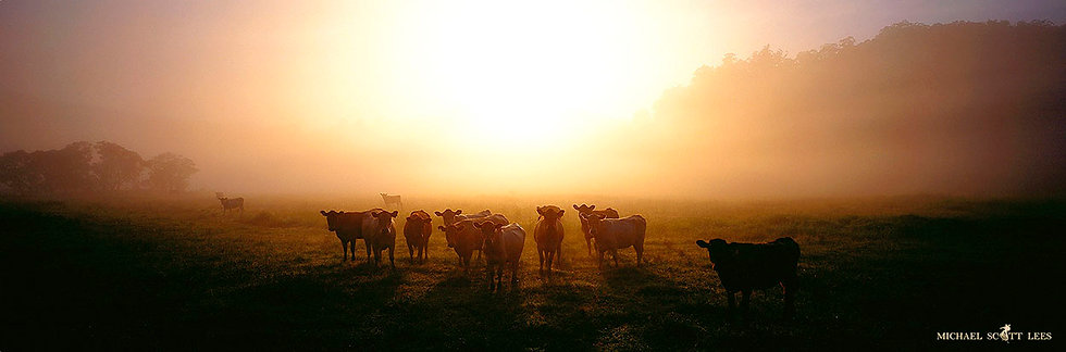 Cows in the paddock at Wollombi, Australia. Fine Art Photography Prints for Sale by Michael Scott Lees photographer.
