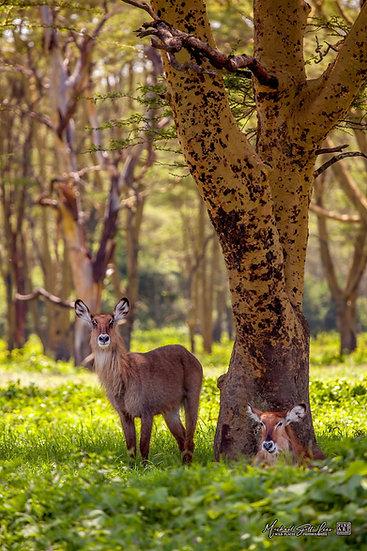 Two Waterbucks in Lake Nakuru National Park, Kenya, Africa Michael Scott Lees fine art photographic prints for sale