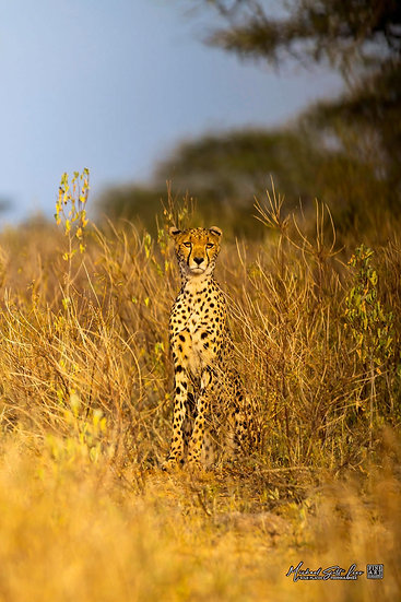 Cheetah in Samburu National Park, Kenya, Africa, Michael Scott Lees fine art photographic prints for sale