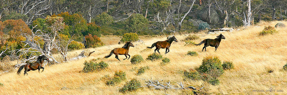 Four Brumbies in the Kosciuszko National Park, Australia. Fine Art Photography Prints for Sale by Michael Scott Lees photo