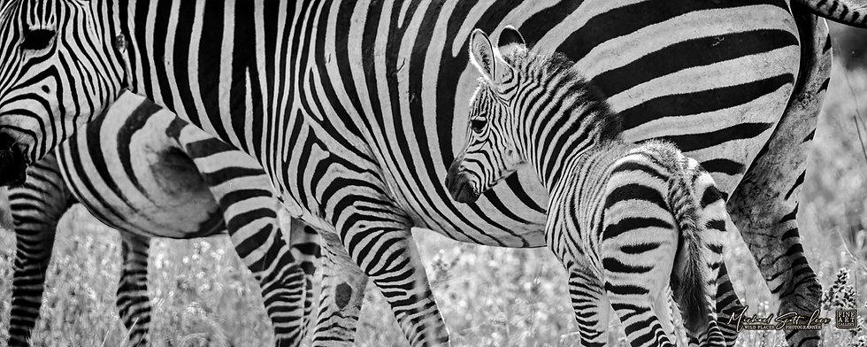 Baby Zebra in Kimana Sanctuary, Michael Scott Lees fine art photographic prints for sale