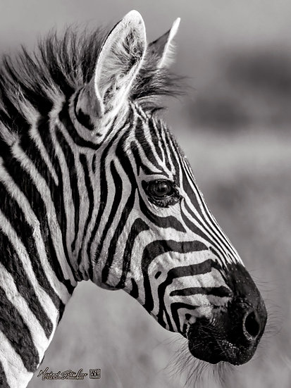 Baby Zebra in Maasai Mara National Reserve, Kenya, Africa, Michael Scott Lees fine art photographic prints for sale