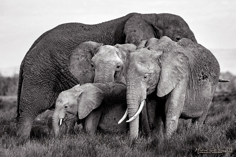 Elephants in the grass lands in Amboseli National Park, Michael Scott Lees fine art photographic prints for sale