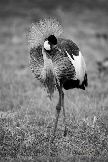 Crowned Crane in Amboseli National Park, Michael Scott Lees fine art photographic prints for sale