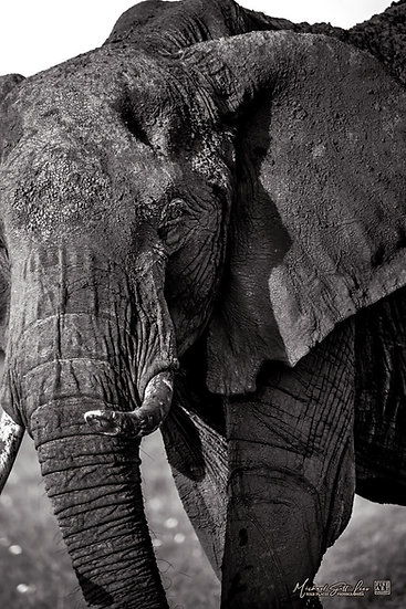 Elephant in Masai Mara National Reserve, Kenya, Africa, Michael Scott Lees fine art photographic prints for sale