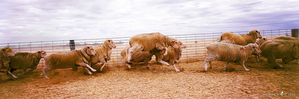 Yarding the sheep at Gunbar Station, Hillston, Australia. Fine Art Photography Prints for Sale by Michael Scott Lees photo