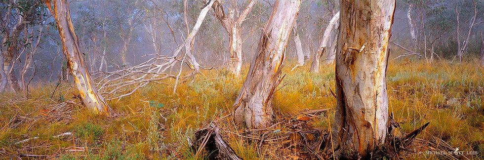 Eucalypt trees in the Kosciuszko National Park, Australia. Fine Art Photography Prints for Sale by Michael Scott Lees photo