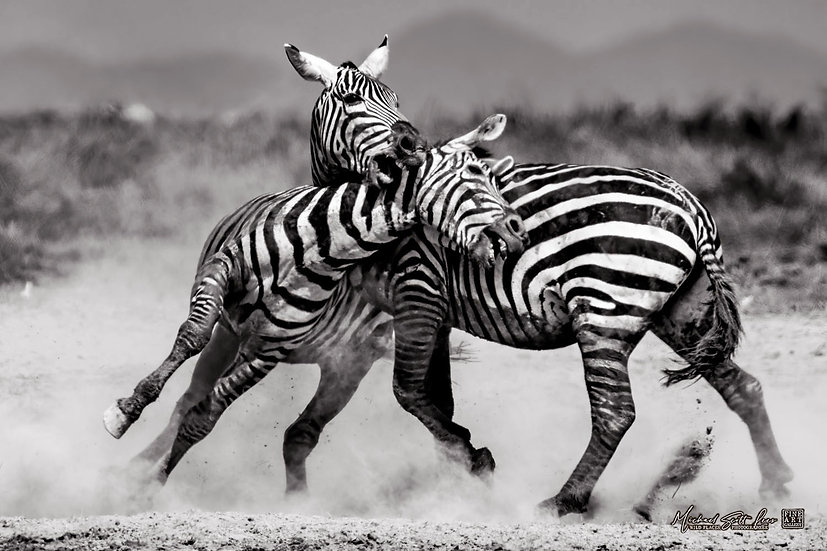 Two zebras fighting on the edge of a dead lake in Amboseli National Park, Michael Scott Lees fine art photographic prints for