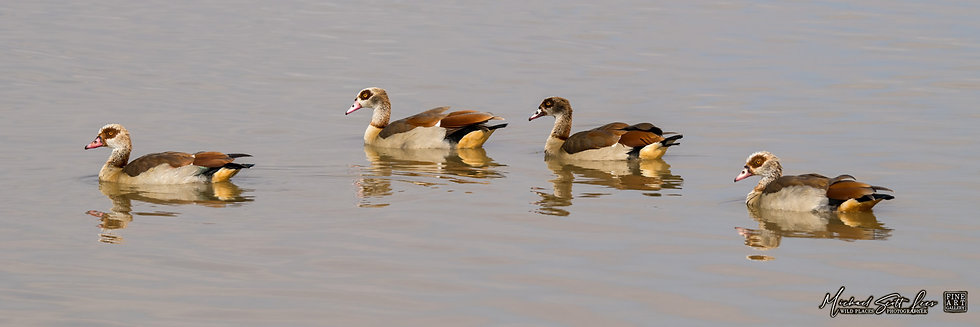 Egyptian Geese in Amboseli National Park, Michael Scott Lees fine art photographic prints for sale