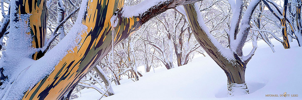 Snowgums in the snow at Charlotte Pass in the Kosciuszko National Park, Australia. Fine Art Photography Prints for Sale