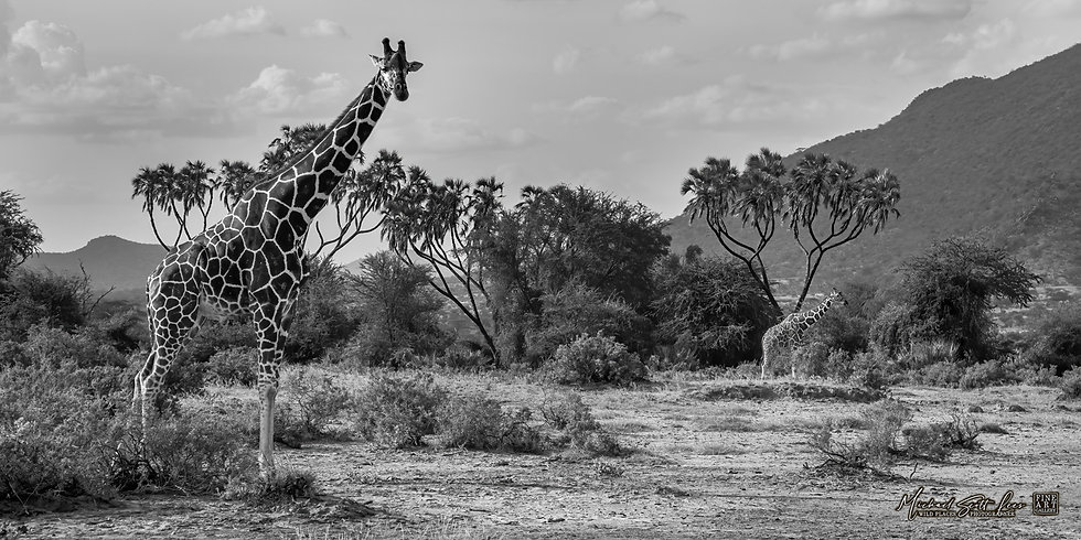 Giraffe in Samburu National Park, Kenya, Africa, Michael Scott Lees fine art photographic prints for sale