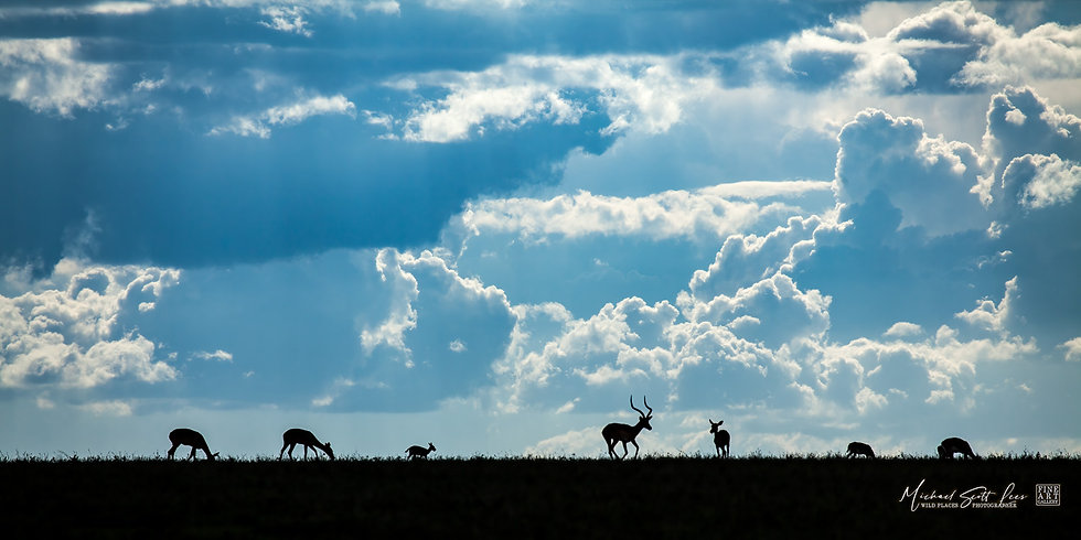 Grant's Gazelles in Masai Mara National Reserve, Michael Scott Lees fine art photographic prints for sale