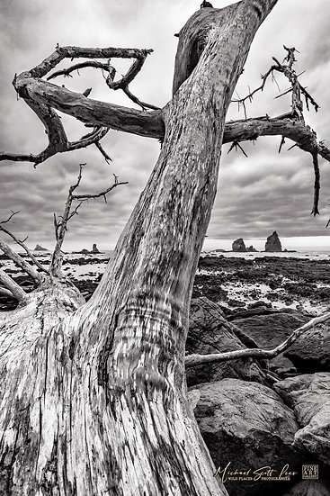 Dead tree near Rialto Beach in Olympic Coast National Park, Washington State, America. Michael Scott Lees fine art photograph