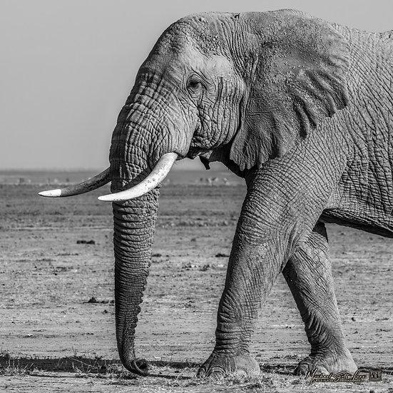 Elephant in Amboseli National Park, Michael Scott Lees fine art photographic prints for sale