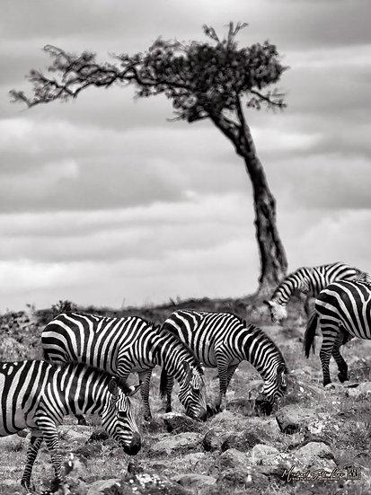 Zebras grassing with tree in background in Masai Mara National Reserve in Kenya, Africa, Michael Scott Lees fine art