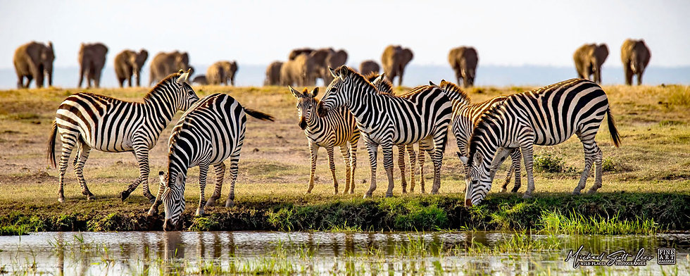 Zebras at the watering hole with Elephants in Amboseli National Park, Michael Scott Lees fine art photographic prints