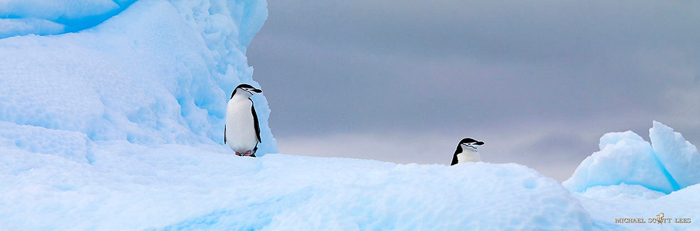Two Chinstrap Penguins on a little iceberg floating around the South Shetland Islands, Antarctica. Fine Art Photography Print