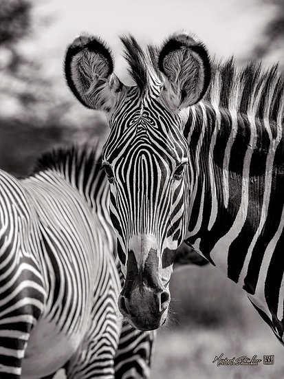 Grevy's Zebra in Samburu National Park, Kenya, Africa, Michael Scott Lees fine art photographic prints for sale