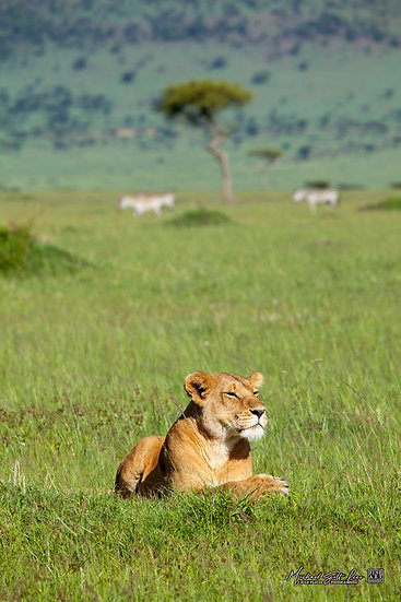 Lioness on the plains in Maasai Mara National Reserve, Michael Scott Lees fine art photographic prints for sale