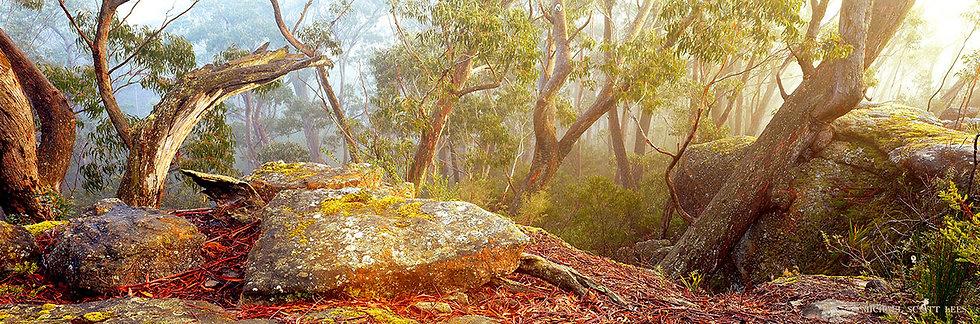 Eucalypt trees in Morton National Park, Australia. Fine Art Photography Prints for Sale by Michael Scott Lees photographer