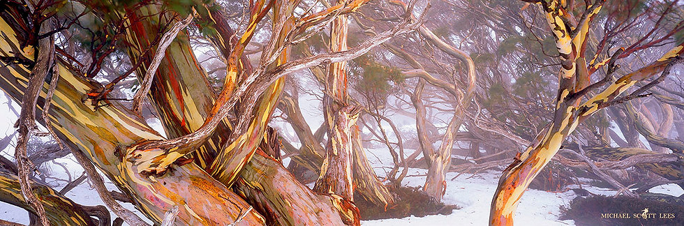 Snowgums in the mist at Dead Horse Gap in the Kosciuszko National Park, Australia. Fine Art Photography Prints for Sale