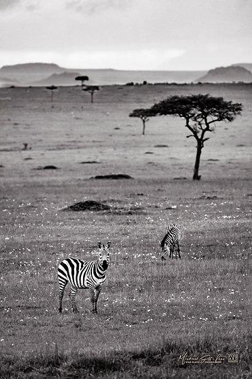 Two Zebras in Masai Mara National Reserve, Kenya, Africa, Michael Scott Lees fine art photographic prints for sale