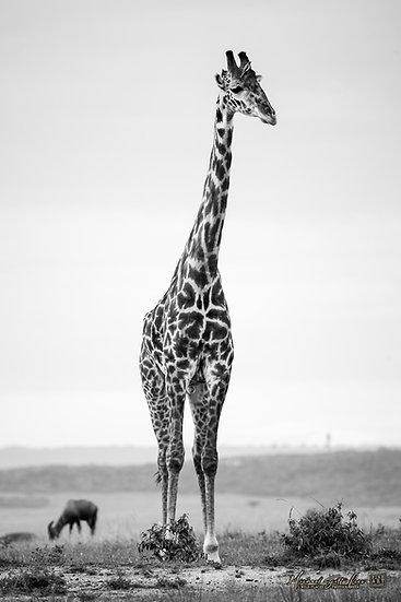 Giraffe in Masai Mara National Reserve, Michael Scott Lees fine art photographic prints for sale
