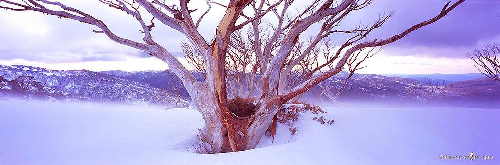 Snowgum in the Snow in Kosciuszko National Park, Australia. Fine Art Photography Prints for Sale by Michael Scott Lees photo