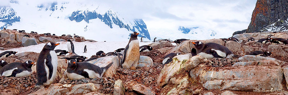 Gentoo colony on Coverville Island in the South Shetland Islands, Antarctica. Fine Art Photography Prints for Sale