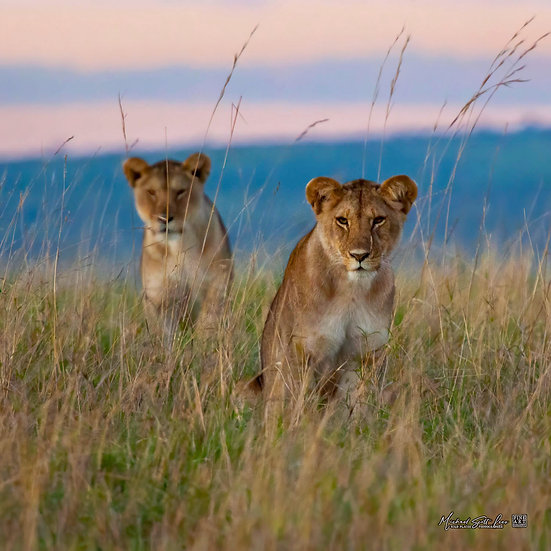 Juvenile lioness's in Maasai Mara National Reserve, Michael Scott Lees fine art photographic prints for sale