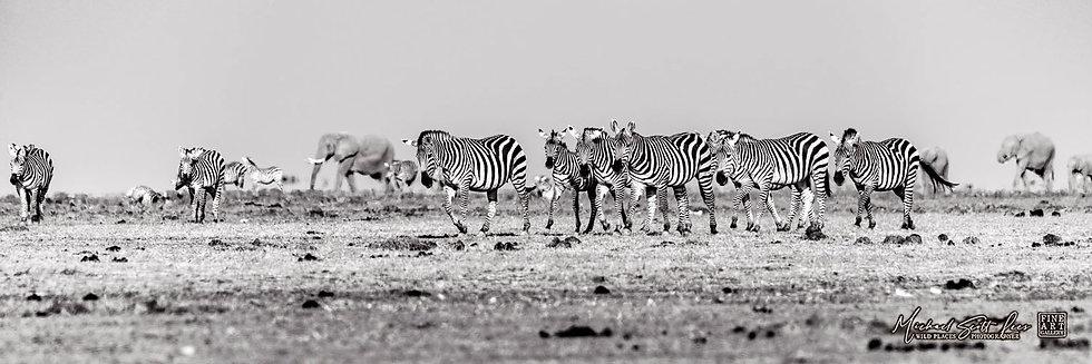 Zebras and elephants crossing a dead lake in Amboseli National Park, Michael Scott Lees fine art photographic prints for sale