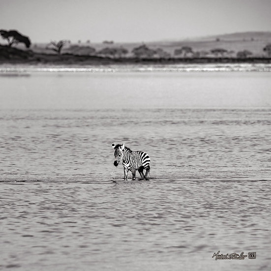 Baby Zebra across a shallow lake in Amboseli National Park in Kenya, Africa, Michael Scott Lees fine art photographic prints