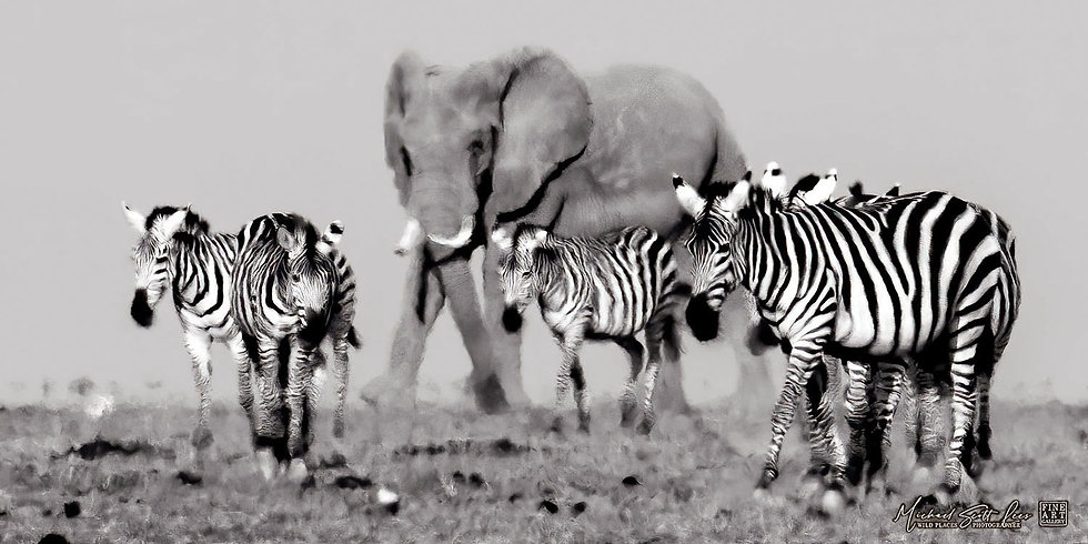 Zebras and elephants crossing a dead lake in Amboseli National Park, Michael Scott Lees fine art photographic prints for sale