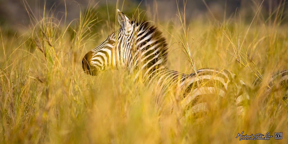 Zebra in the tall grass at Kimana Sanctuary, Kenya, Michael Scott Lees fine art photographic prints for sale