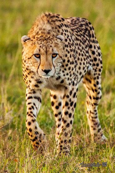Cheetah in Masai Mara National Reserve, Michael Scott Lees fine art photographic prints for sale