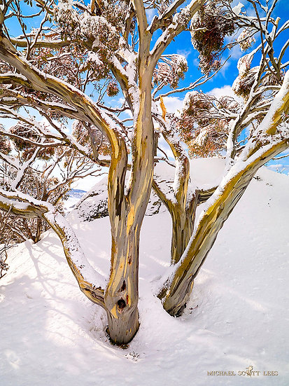 Snowgums in snow near Charlotte Pass, Kosciuszko National Park, Australia. Fine Art Photography Prints for Sale by Michael Sc