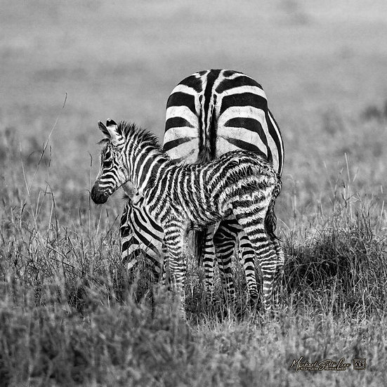 Baby Zebras and Mum in Masai Mara National Reserve, Michael Scott Lees fine art photographic prints for sale