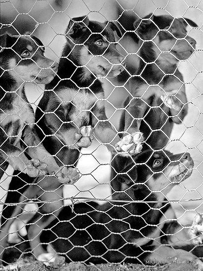 Kelpie puppies at Yass, NSW, Australia. Fine Art Photography Prints for Sale by Michael Scott Lees photographer.