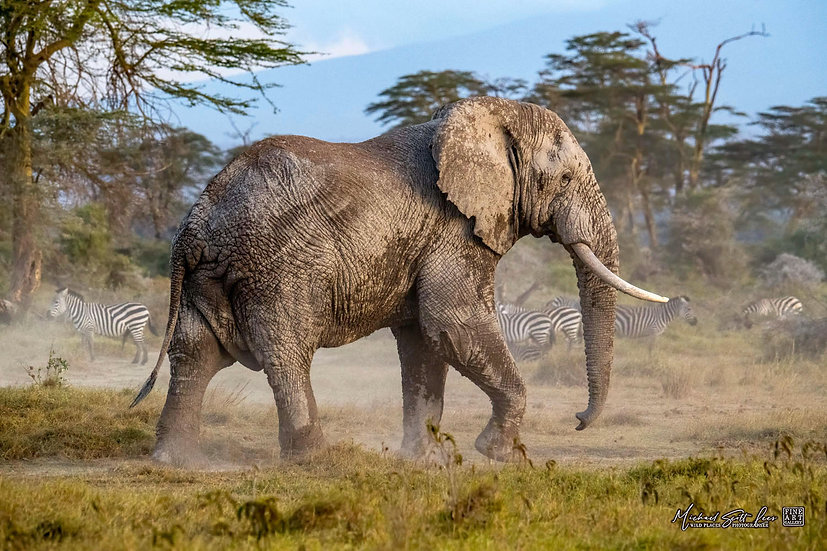 Bull elephant on dust in Kimana Sanctuary, Kenya, Michael Scott Lees fine art photographic prints for sale