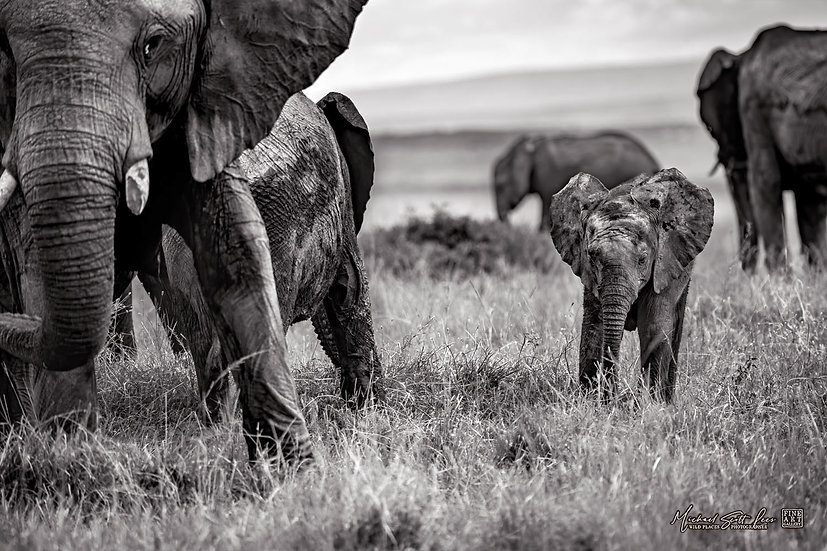 Baby elephants on the grass plains of Maasai Mara National Reserve, Kenya, Michael Scott Lees fine art photographic prints fo