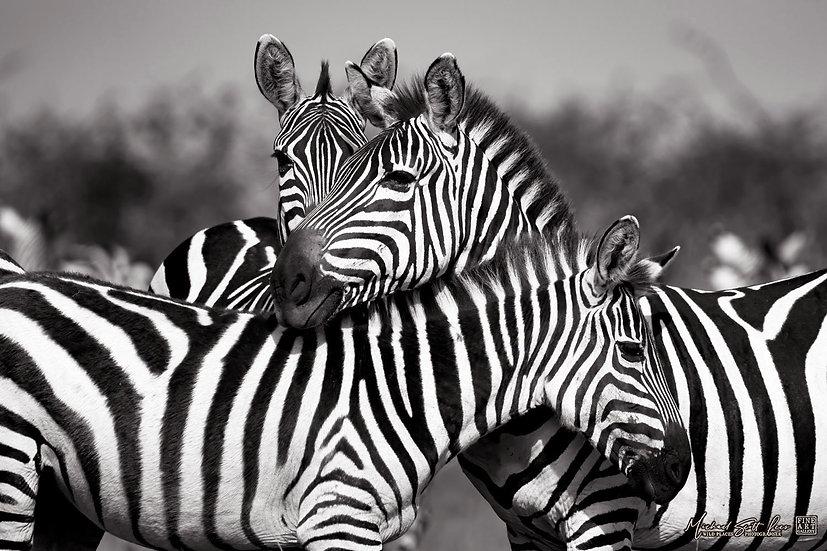 Zebras on the plains in Maasai Mara National Reserve, Michael Scott Lees fine art photographic prints for sale