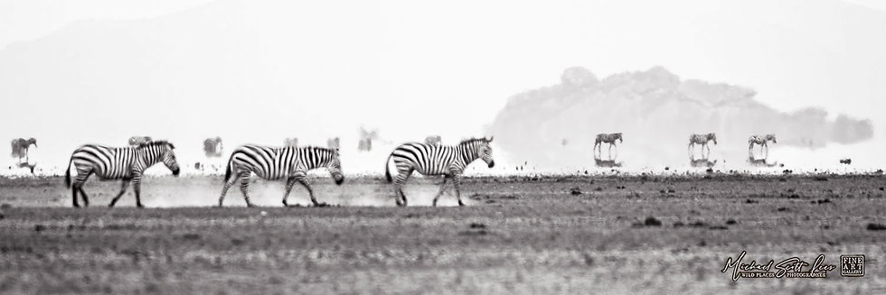 Zebras in a heat wave crossing a dead lake in Amboseli National Park, Michael Scott Lees fine art photographic prints
