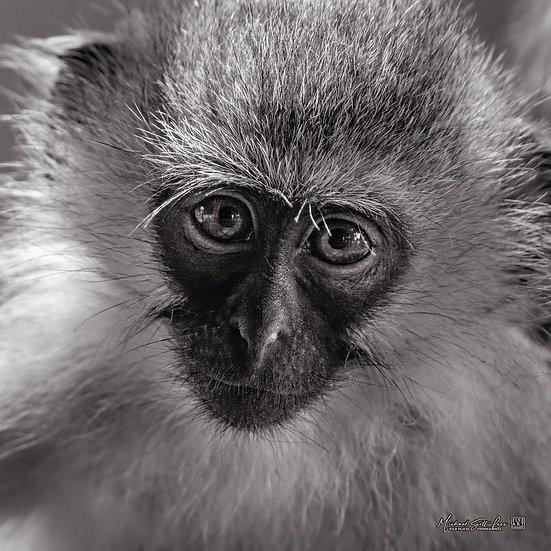 Vervet Monkey in Samburu National Park, Kenya, Africa, Michael Scott Lees fine art photographic prints for sale